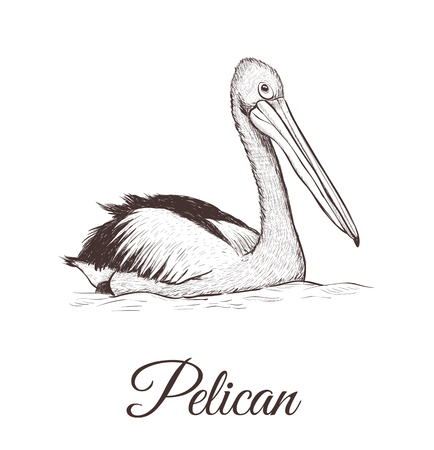 Pelican sketch vector illustration. A series of drawings of birds. Иллюстрация