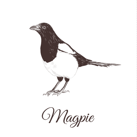 Magpie sketch vector illustration. A series of drawings of birds.