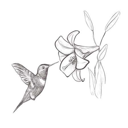 Hummingbird bird nectar flower. Hummingbird and lily hand drawing vector illustration