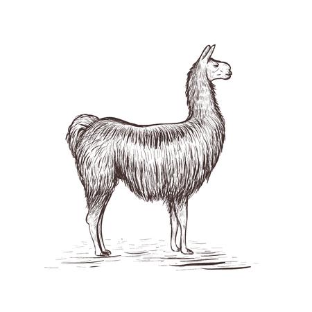Lama sketch vector illustration. Lama hand drawing Illustration