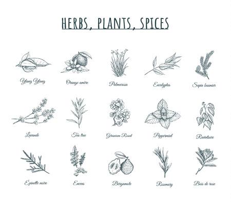 Illustrazione di vettore di erbe, piante e spezie Set di erbe, piante, spezie. Erbe curative organiche spezie botaniche, schizzi di piante. Archivio Fotografico - 94007468