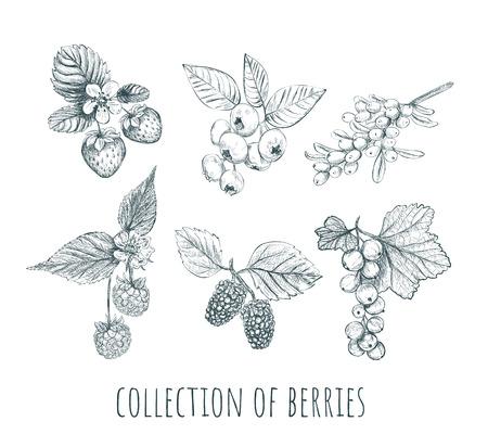 Berries set. collection of berries. Berry sketch vector illustration 版權商用圖片