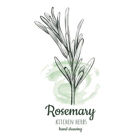Rosemary sketch style
