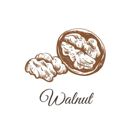 walnut sketch hand drawing. walnut vector illustration