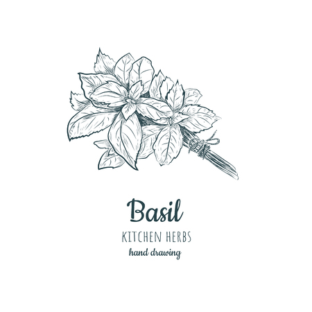 Basil sketch. Basil hand drawing