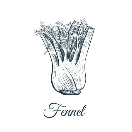 fennel sketch illustration. fennel hand drawing vector Illustration