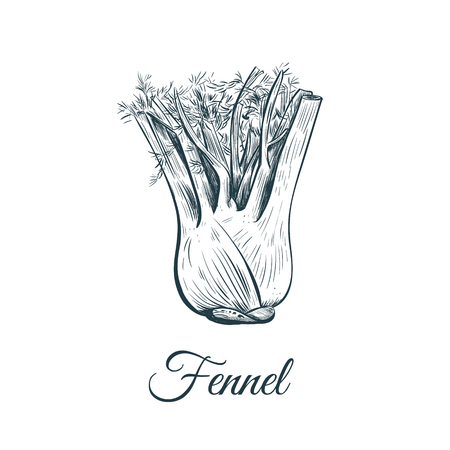 fennel sketch illustration. fennel hand drawing vector