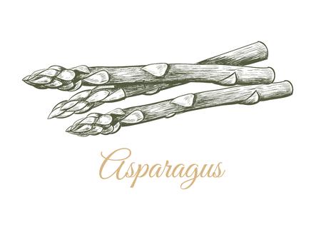 Asparagus sketch hand drawing. Sprigs asparagus vector illustration