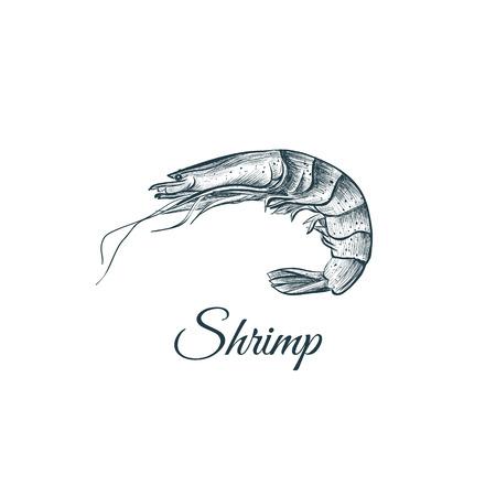 Shrimp sketch hand drawing. Shrimp vector illustration