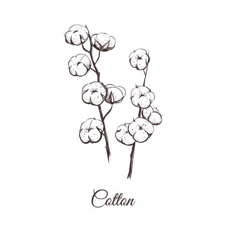Baumwolle-Vektor-Illustration. Zweige der Baumwollskizze