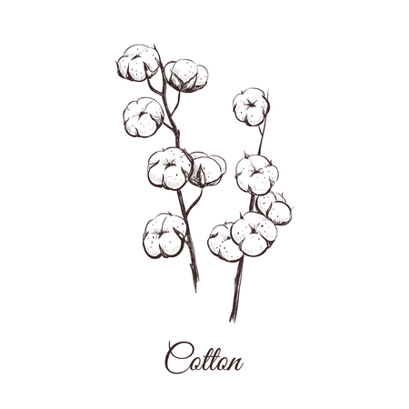 Cotton vector illustration. Sprigs of cotton sketch