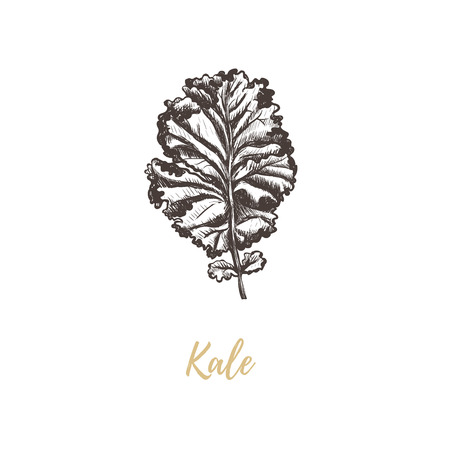 Kale vector illustration. Kale sketch hand drawing Ilustracja