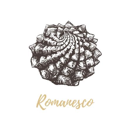 Romanesco broccoli sketch illustration. Cabbage romanesco hand drawing art