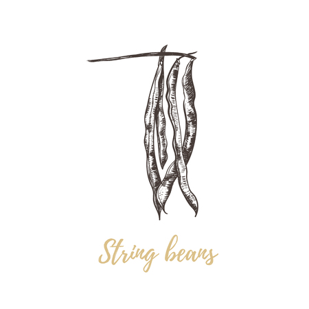 French green beans (string bean pod). Beans hand drawing sketch. Green  beans illustration.