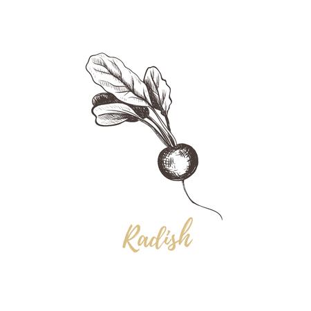 Radish hand drawing sketch.