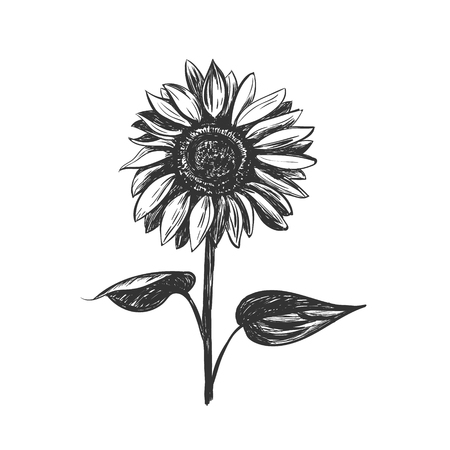 Sunflower sketch vector illustration. Sunflower hand drawing  イラスト・ベクター素材