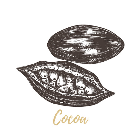 Cocoa sketch illustration. Cocoa hand drawing botanical hand drawing Illustration