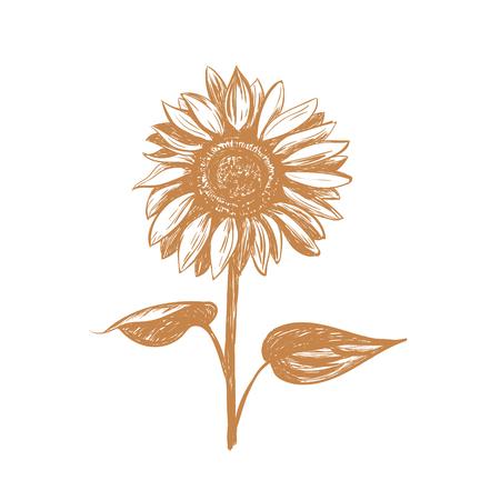 Sunflower sketch illustration. Gold Sunflower hand drawing