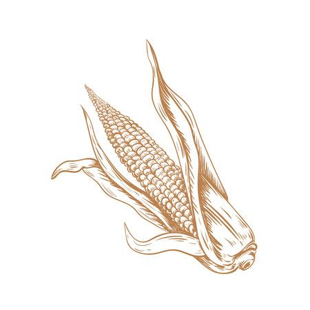 Corn hand drawing art. Corn Sketch vector