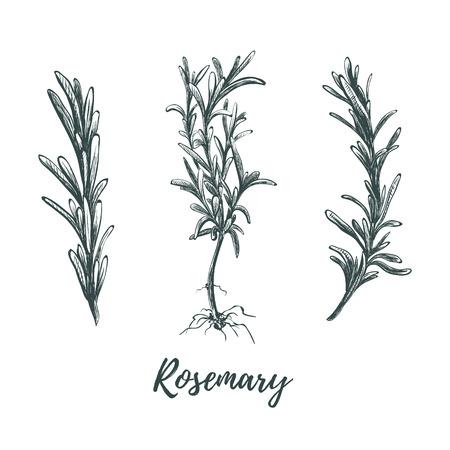 Rosmarin gesetzte Skizzenvektorillustration. Botanische Handzeichnung Rosmarin. Kräutersammlung