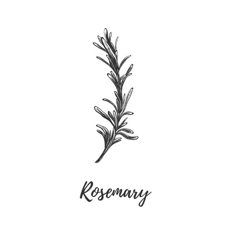 Rosemary vector illustration. Herbs and spices rosemary. Rosemary sketch hand drawing