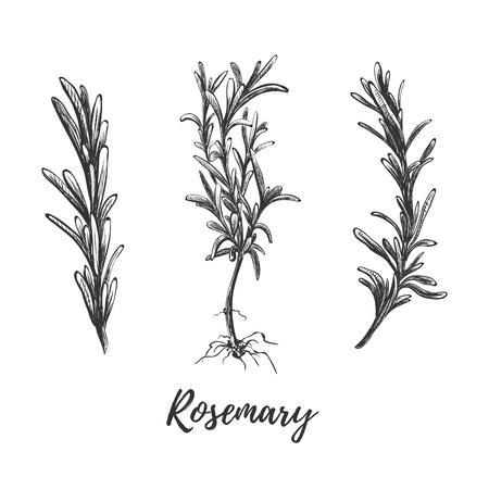 Rosmarin gesetzte Skizzenvektorillustration. Botanische Handzeichnung Rosmarin. Kräutersammlung Vektorgrafik