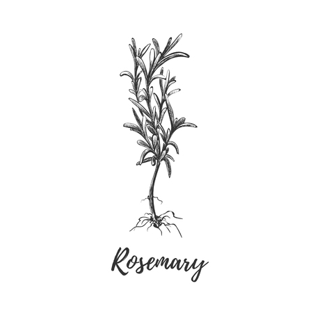 Rosemary herb with roots. Botanical illustration of rosemary. Rosemary plant in the style of engraving. Used for farm stickers, store labels.