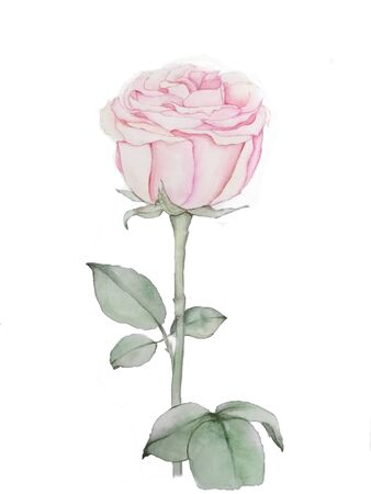 Pink rose watercolor drawing. Isolated rose hand drawing. Flower rose illustration