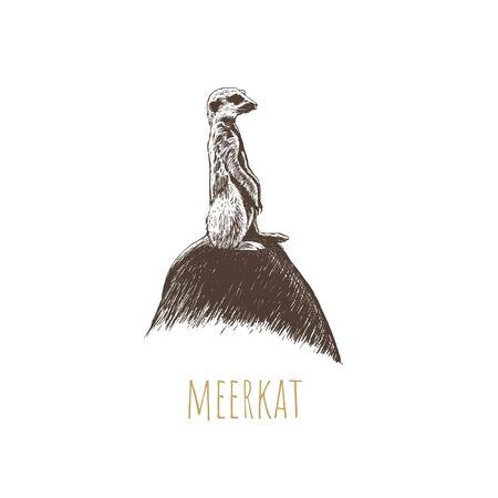 Meerkat illustration. Meerkat on stone hand drawing Illustration