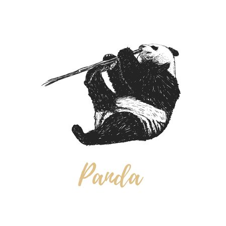 Panda nibbles a branch. Panda sketch hand drawing. Panda vector
