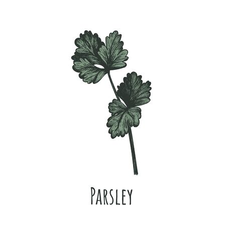 Parsley vector illustration. Parsley hand drawing