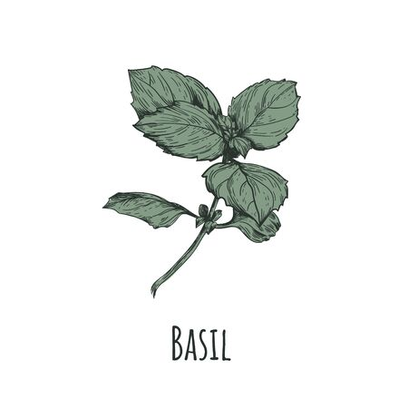 Basil illustration. Basil hand drawing. Basil Botanical Illustration