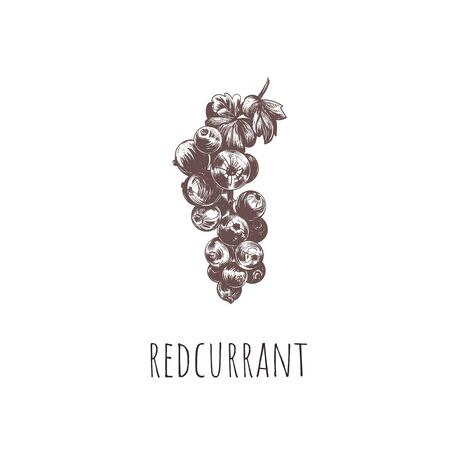 redcurrant vector illustration. red currant hand drawing Ilustracja