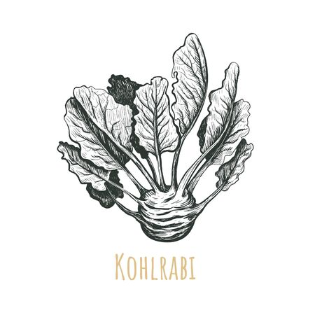 Kohlrabi hand drawing. Kohlrabi vector illustration. Vegetables drawings