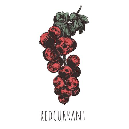 redcurrant vector illustration. red currant hand drawing Çizim