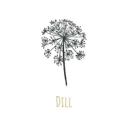 Dill vector illustration. Blooming dill. Dill seeds. Caraway.