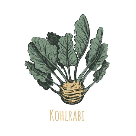 Kohlrabi hand drawing. Kohlrabi vector illustration. Vegetables drawings