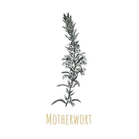 Motherwort sketch vector illustration. Motherwort hand drawing. Motherwort Medical Herb. Leonurus cardiaca botanical illustration Reklamní fotografie - 135473192