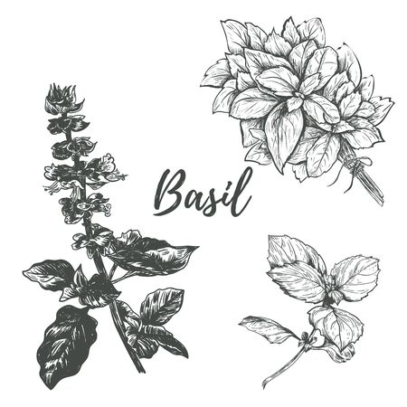 basil set sketch illustration. Basil hand drawing. Basil Herbs Collection Ilustracja