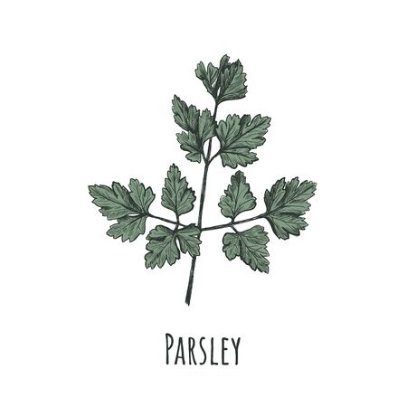 Parsley illustration. Parsley hand drawing. Parsley Ilustracja