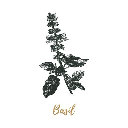 basil sketch drawing. basil vector illustration. basil hand drawing