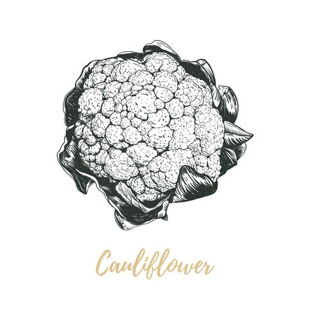 Cauliflower vector illustration. Cauliflower sketch hand drawing. Cauliflower art Ilustracja