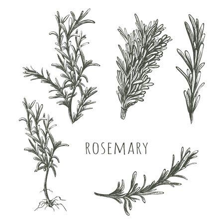 Rosemary sketch vector illustration.