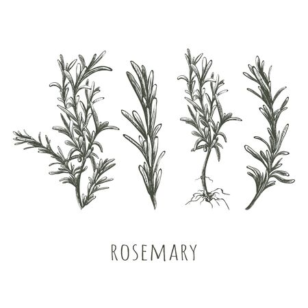 Rosemary sketch set vector illustration.