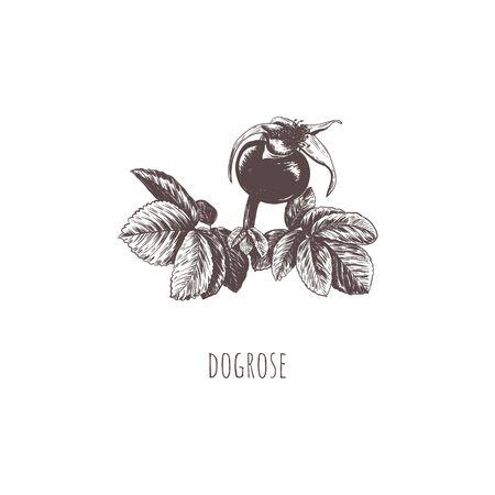 Rosehip berry vector illustration. Dogrose.