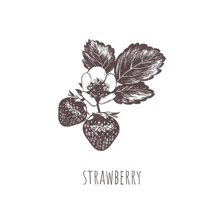 Strawberry berry sketch hand drawing.