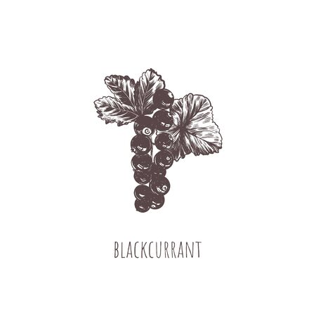 Blackcurrant berry vector illustration 向量圖像