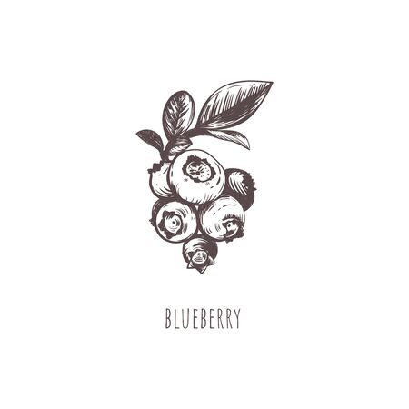 Blueberry vector illustration. Blueberry berry sketch hand drawing. Blueberry Botanical Illustration