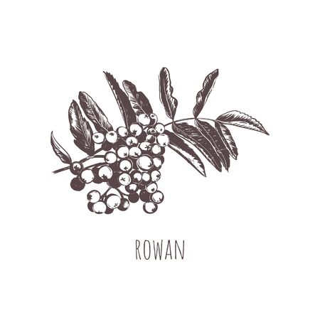 Rowan sketch vector illustration.