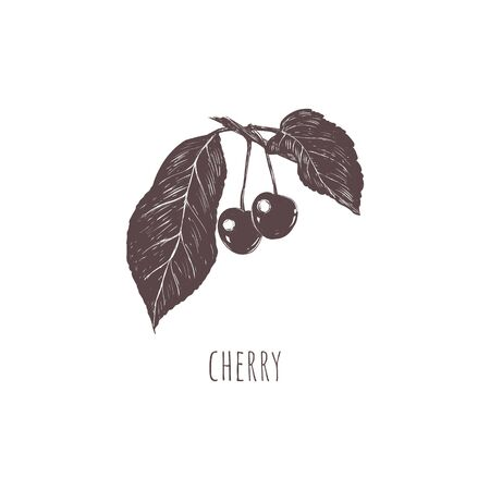 Cherry sketch vector illustration.